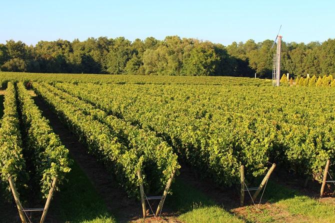 Vignes Château Bertinerie